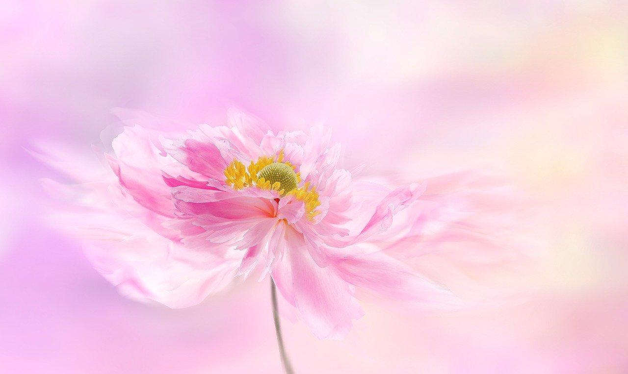 anemone, anemones, flower