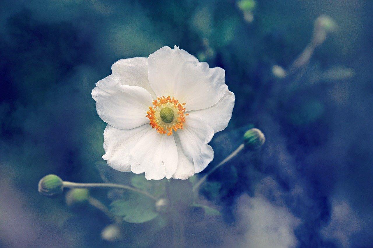 anemone, flower, plant