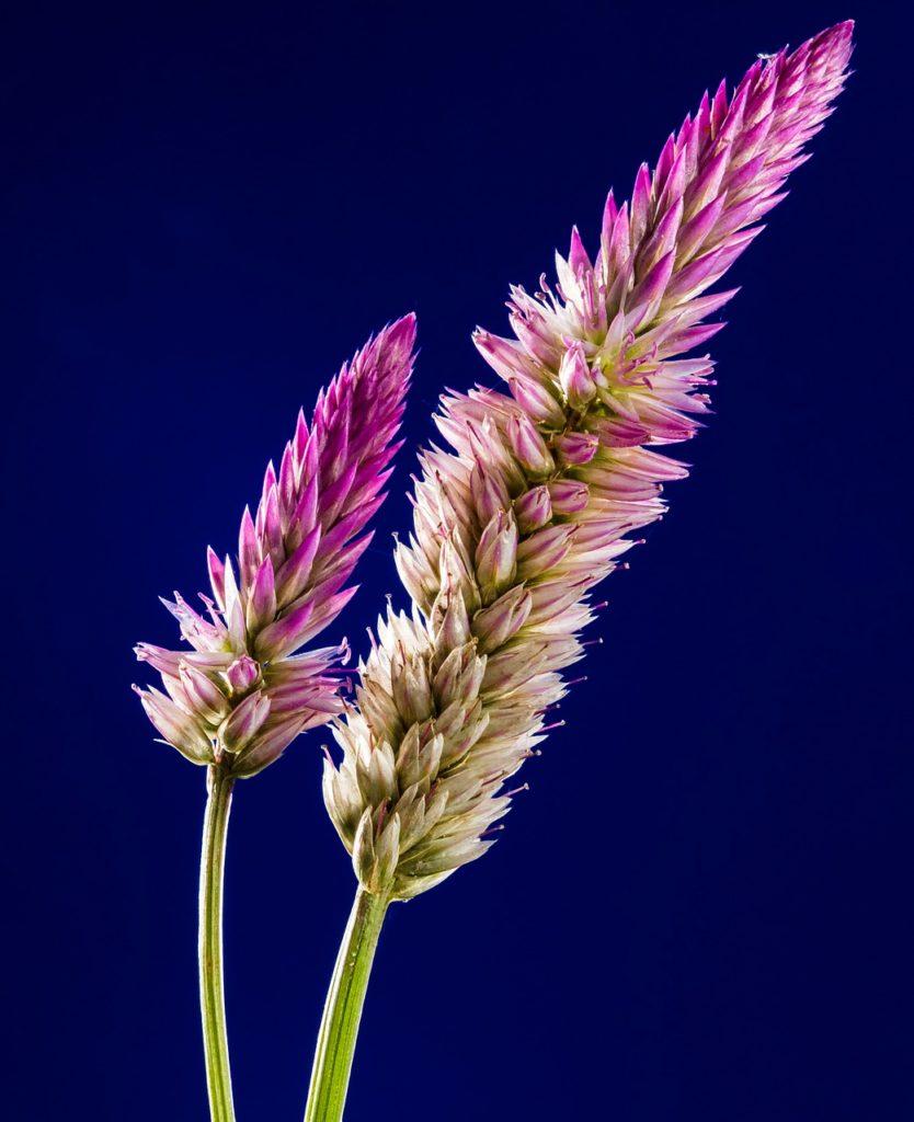 blossom, bloom, flower