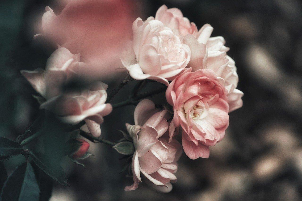 bush, rosebush, roses