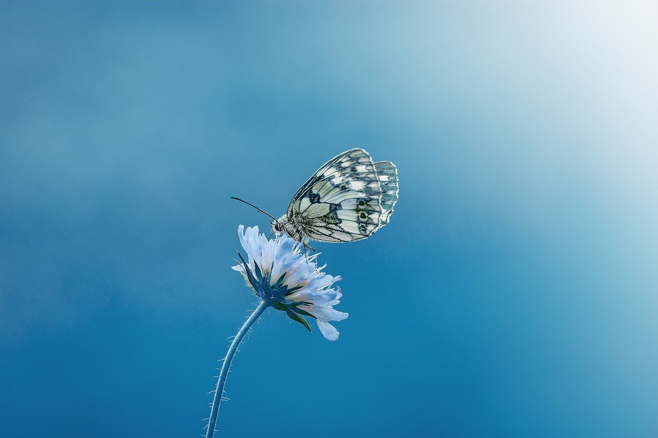 butterfly, animal, insect