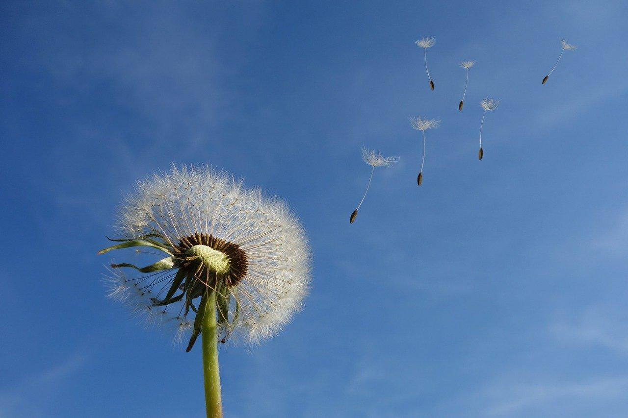 dandelion, sky, flower