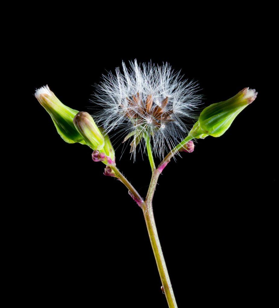 dandelion, small flower, wild flower
