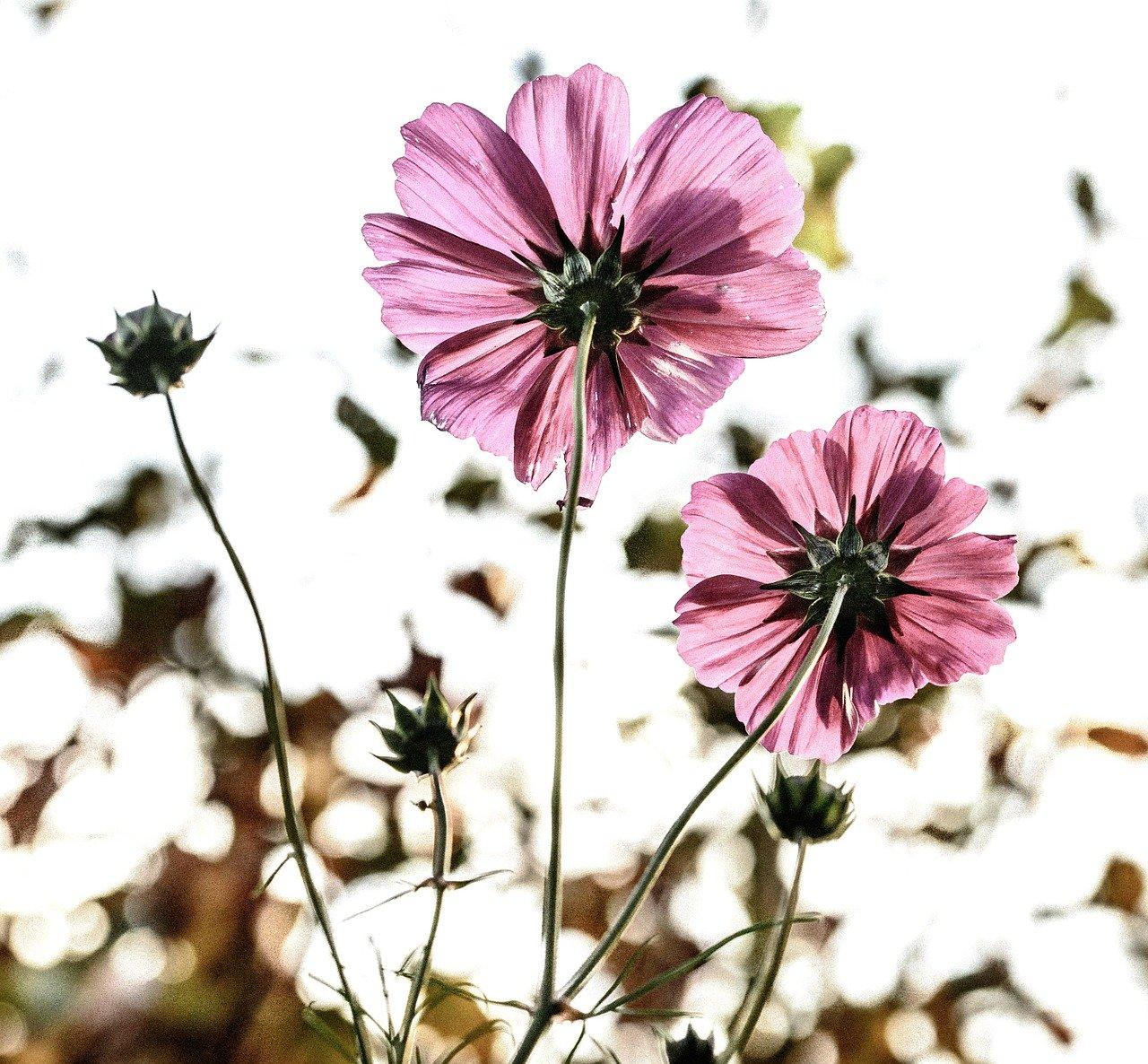 flowers, bloom, pink