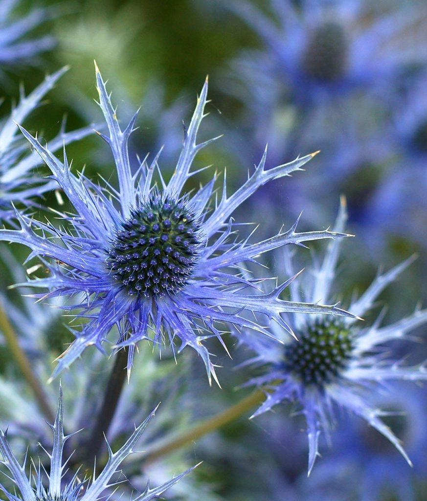 holly flower, flower, eryngium