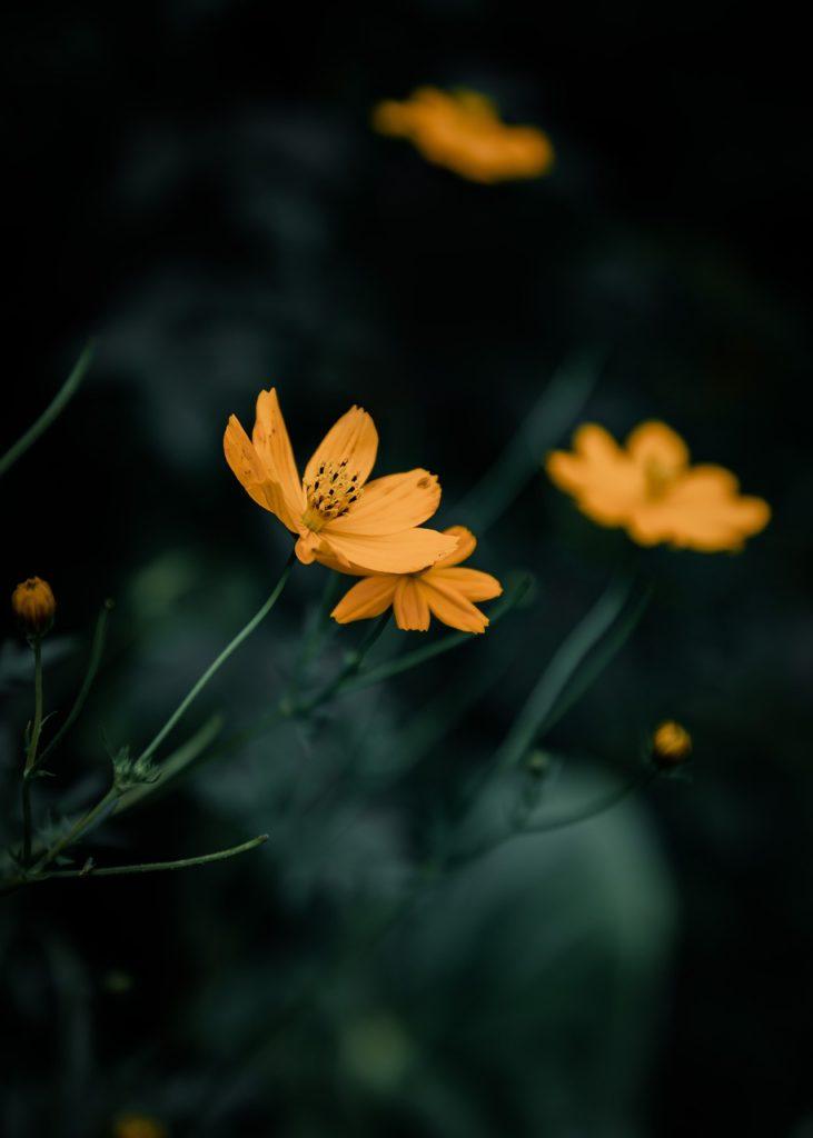 sri lanka, flower, yellow