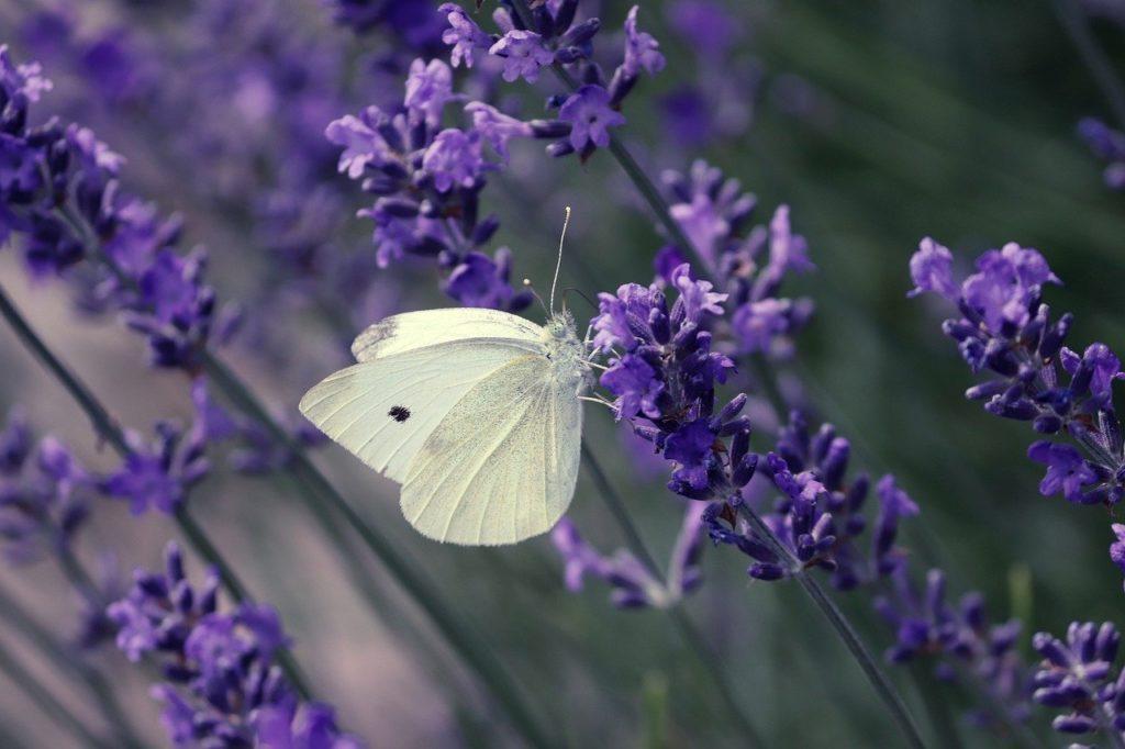 white, pieris, butterfly