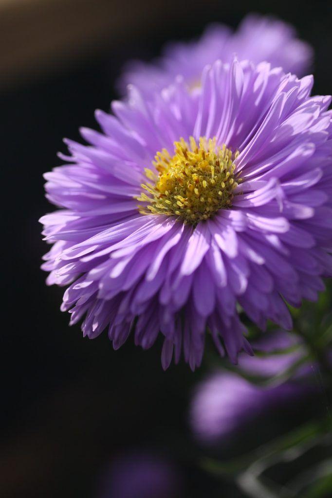 aster, flower, purple