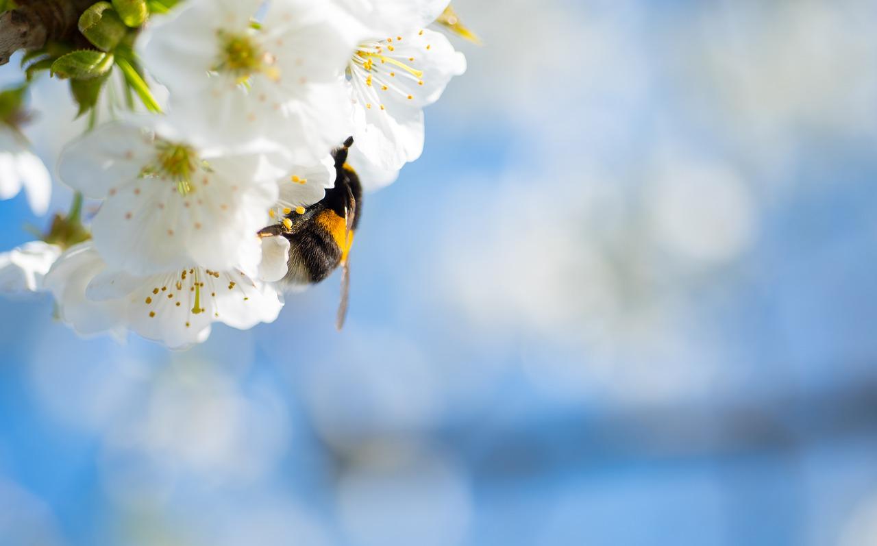 cherry blossom, bumblebee, cherry