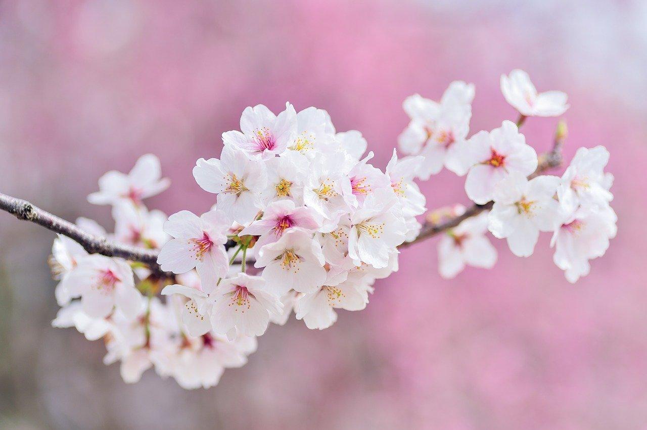 cherry blossoms, landscape, spring