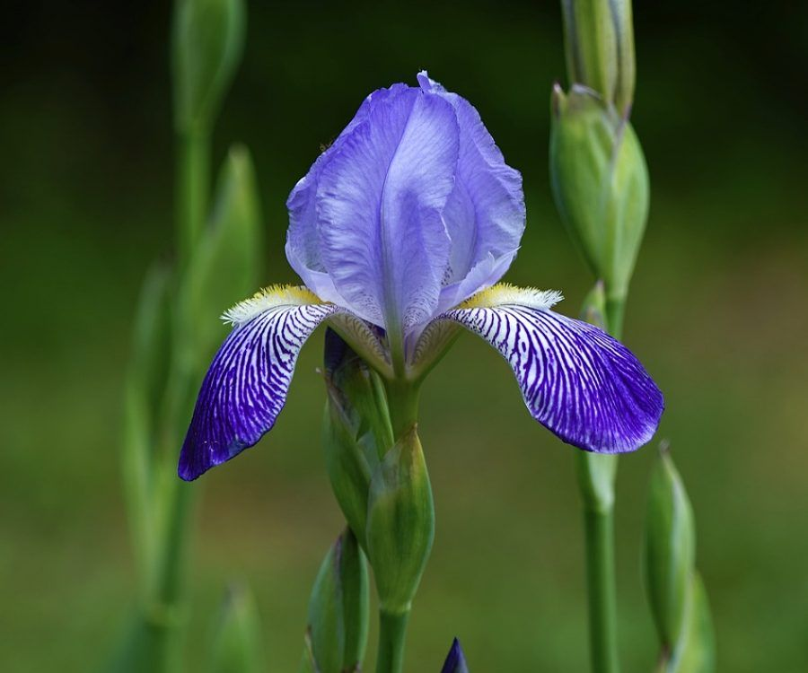 iris, iris flower, blossom